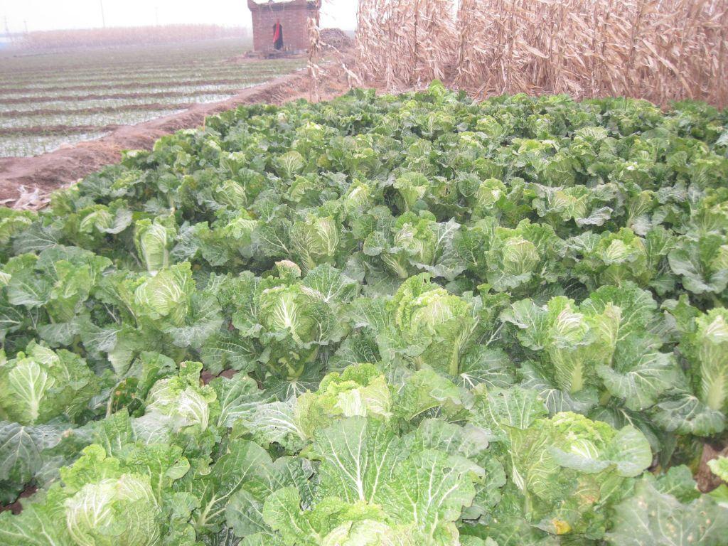 大白菜7分钱1斤农民弃收任其烂在地里 - 蒋高明 - 蒋高明的博客