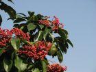 冬日红果·石楠