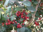 冬日红果·无刺枸骨