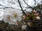 武汉大学,樱花开了