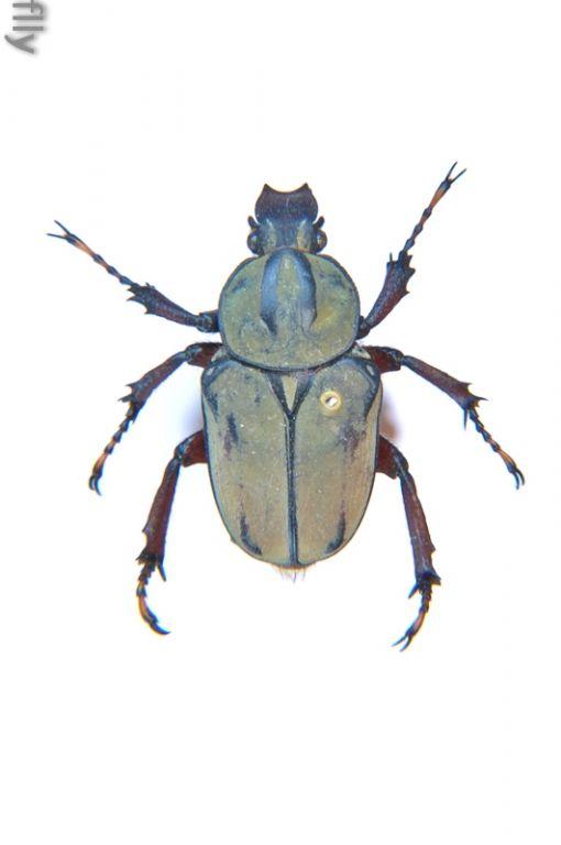 黄粉鹿角花金龟