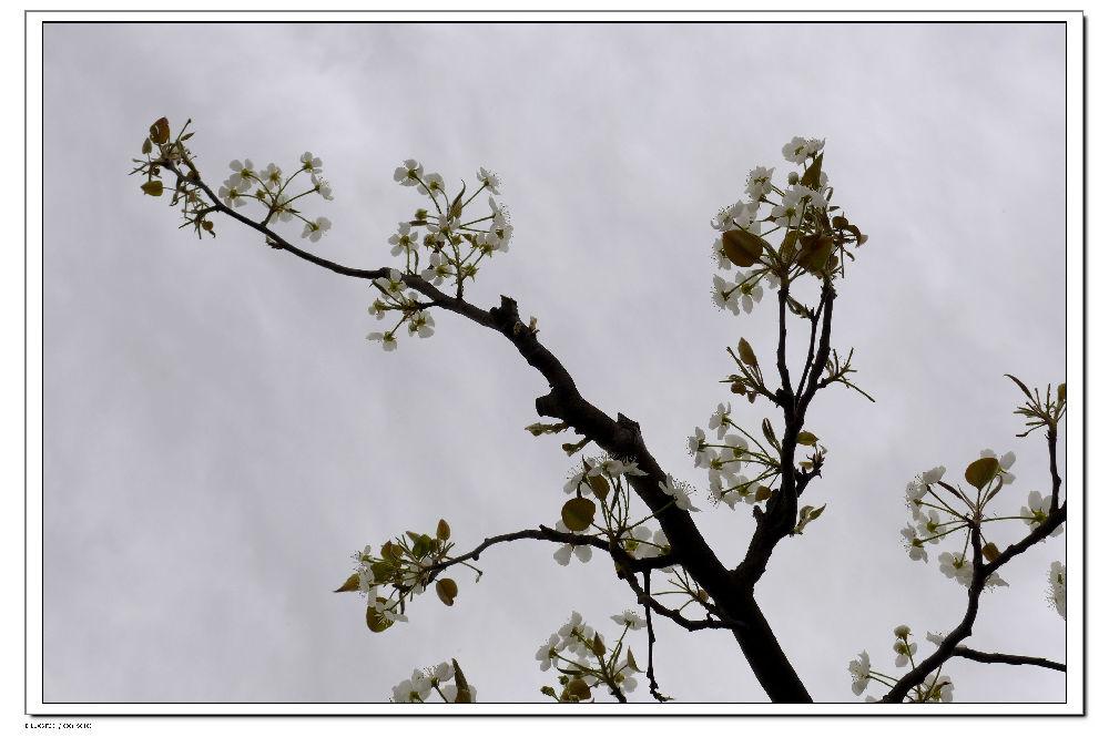 科学网—梨花何须压海棠