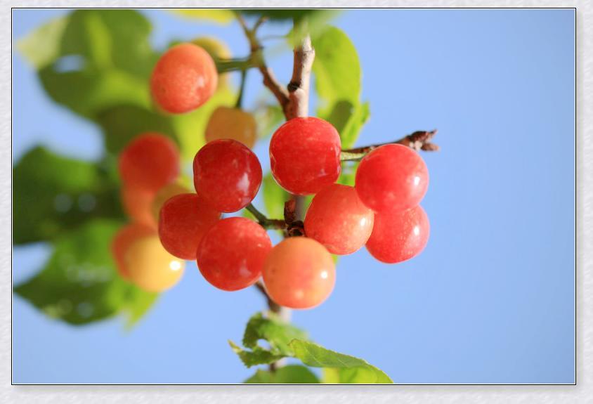 经常有成群的小鸟来吃樱桃,在围墙上留下许多吃剩下的樱桃核.