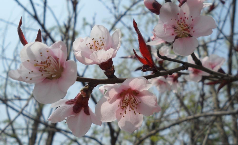 可是俺发现路边红叶的桃树中,除了重瓣的品种,还有单瓣的品种,其花的