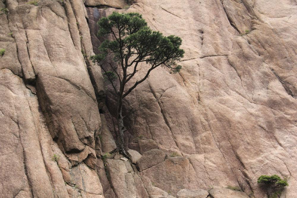 黄山有四美,奇松为第一。 到了黄山才知道黄山松究竟美在哪里。 首先是外表美。修长的枝条,近乎水平、甚至是低垂着向外伸展。多数松树只在一侧有树枝,另外一侧则没有一枝,就好像一个人把手伸向前方欢迎来客。迎客松是黄山最有名气的,它就是这种姿态。不是不能像其它树木那样向四周伸展枝条,而是为了避开,或者说是让开一侧的巨石,向能够自由伸展的空间去发展。 其次是内在美。俗话说,根深叶茂。在我的理解中,这是在说,根深才能叶茂,或者是叶茂一定根深。可是黄山的很多松树是长在峭壁上、山石上的,有的还可以看出来是长在石缝里,也许