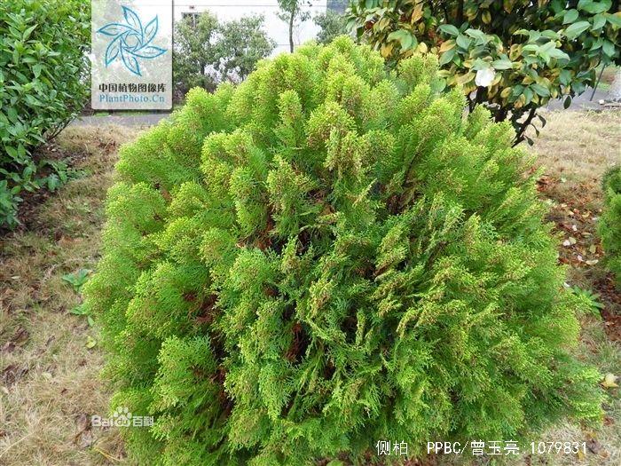 说门前种的三颗小矮松树图片