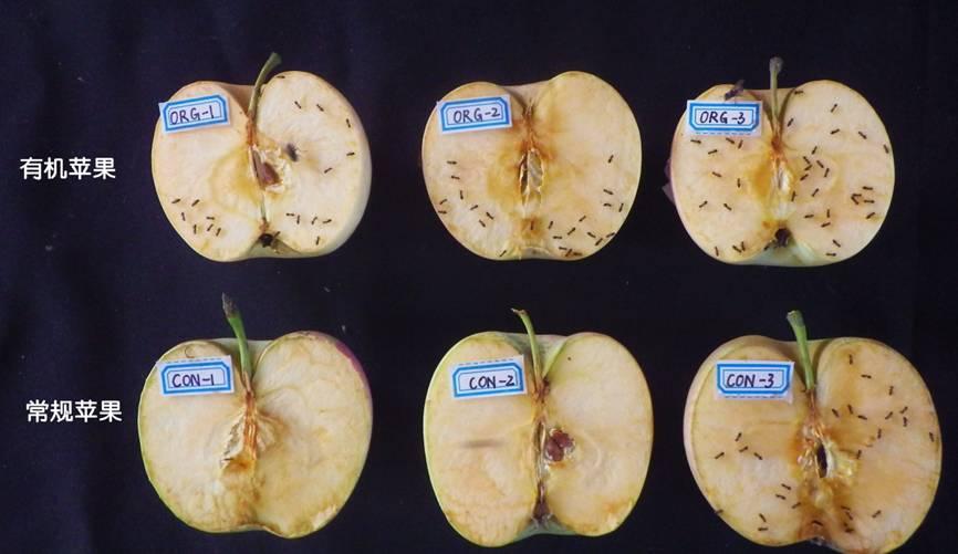 小生命的智慧:蚂蚁喜食有机苹果 - 蒋高明 - 蒋高明的博客