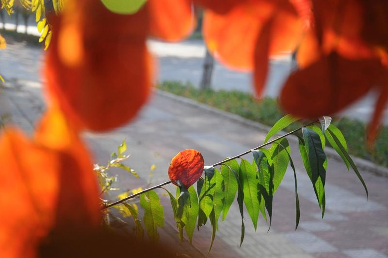 原创:北戴河的红叶很好看 - 秦皇岛老科协 - 秦皇岛市老科协