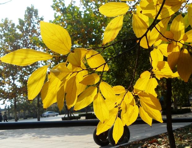 秋天的树叶模样真是差不多,要是不上前仔细看,不会注意到这是一株朴树