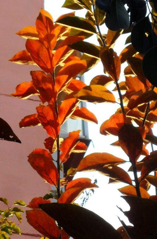 秋天哪些树叶会变红