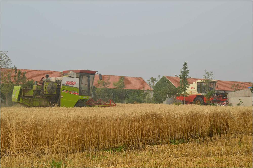 弘毅生态农场再传好消息:有机小麦亩产超1100斤 - 蒋高明 - 蒋高明的博客