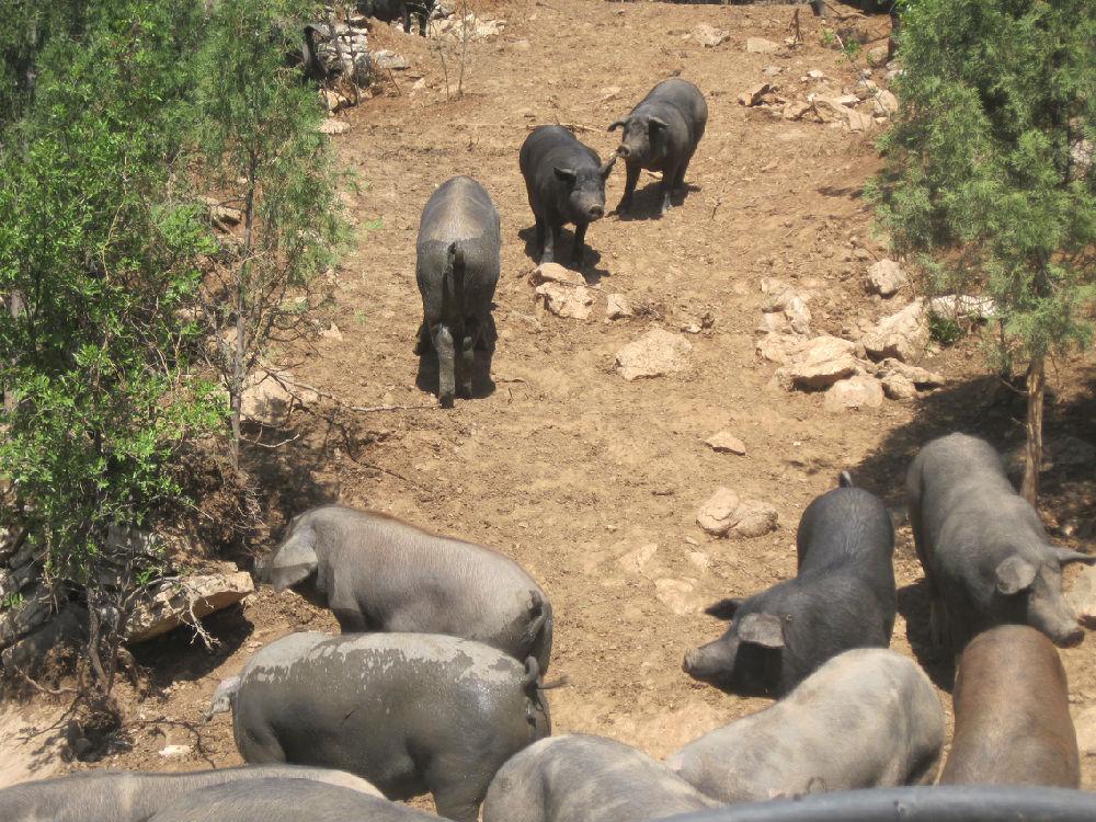 生态养猪的困境:市场逆向淘汰 - 蒋高明 - 蒋高明的博客