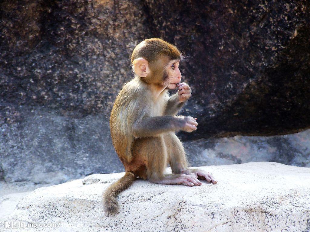 1:可爱而充满灵气的小猕猴,多么聪明啊!知道你的妈妈去哪里了图片
