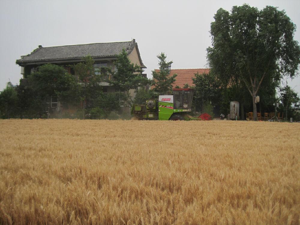 弘毅生态农场无农药化肥除草剂小麦试验田继续过千斤 - 蒋高明 - 蒋高明的博客