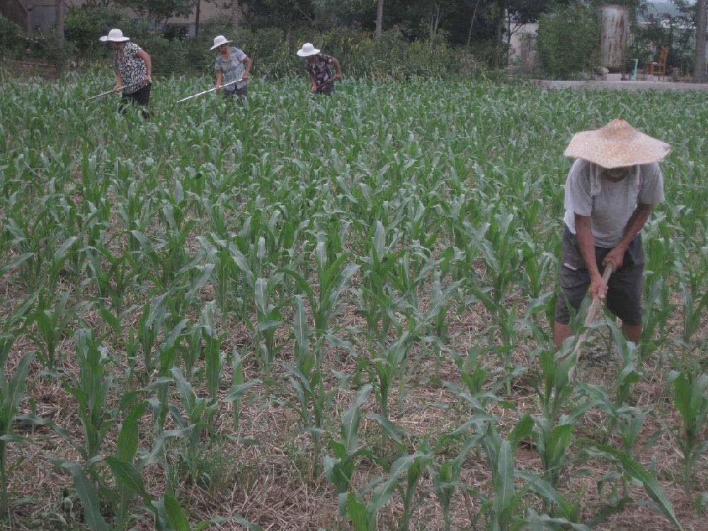 乡村调查之四:老人与妇女种地 - 蒋高明 - 蒋高明的博客