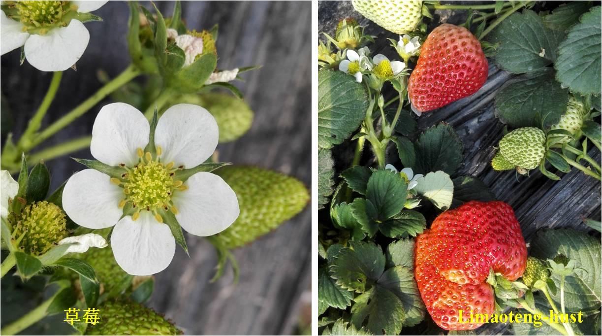 科普:蛇莓是蛇的食物吗?