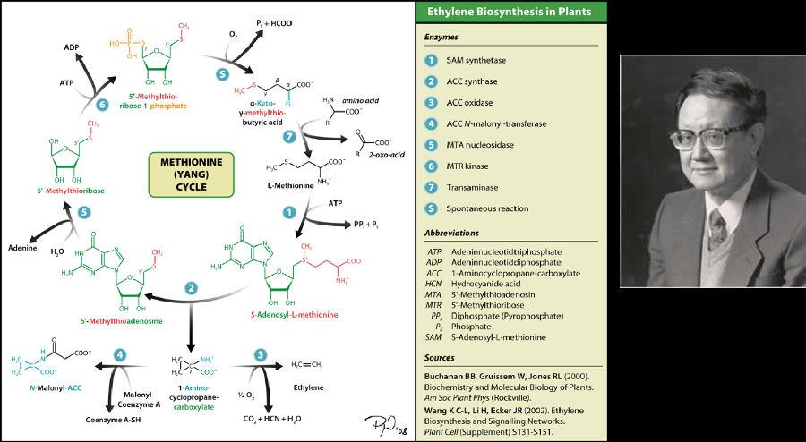 """计算机生成了可选文字:ADP  H OH  5'-Methylthio-  bo . 1 -phosphate  METHIONINE  (YANG)  CYCLE  5'-Methylthioribose  Pi , H ( 00 .  a-Keto- 0  Y-methylthio-  HIN amino  , 0 区  Ethylene Biosynthesis in Plants  zym  0 SAM synthetase  O ACC synthase  0 ACCoxidase  0 ACC N-malonyl-transferase  0 MTA nucleosidase  0 MTR kinase  Transaminase  0 Spontaneous reaction  bb v 0 矗 ,  butyric acid  三  HIC  L-Methionine  ( ) -  NH , 、  S-Adenosyl-L-methionine  Adenine  HA  N  OH OH  S-Methylthioadenosine  ATP  月 D 户  ACC  HCN  MTA  MTR  卯  P  5 月 M  Adeninnucleotidtriphosphate  Adeninnucleotiddiphosphate  1 -Aminocyclopropane-carboxylate  Hydrocyanide acid  5'-Methylthioadenosin  5'-Methylthioribose  Diphosphate (Pyrophosphate)  Phosphate  S-Adenosyl-L-methionine  0  ( 0  H:C—CH'  E 山 """"  + HCN + H 0  鬥  ( 0 丁  N-Malonyl-ACC  Malonyl-  Coenzyme A  Coenzyme A-SH  声 、  H*C 丨 ( 00 .  I-Amino-  cyclopropane-  carboxylate  Sources  Buchanan 88 , Gruissem W, Jones RL ( 2000 , ,  Biochemistry and Molecular Biology Of Plants.  Am Soc 户 y , (Rockville).  Wang K C-L, Li H, Ecker JR ( 200 丌 Ethylene  Biosynthesis and Signaling Networks.  P Cell (Supplement) S 1 31 -S 1 51."""