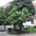 芒果树滴油