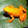 美丽的箭毒蛙
