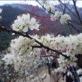 福州森林公园的樱花儿