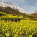 春节游记-罗平