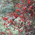Red fruit 红子果