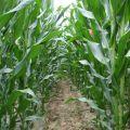 适度聚集式栽培(含玉米一穴多株)