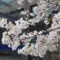 学校的樱花
