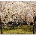 华盛顿樱花