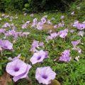 旋花科 convolvulaceae