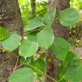 青岛海滨植物