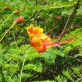 三亚植物-1