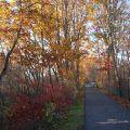 我的Amherst玫瑰园