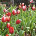 早春的郁金香