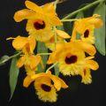 Dendrobium石斛