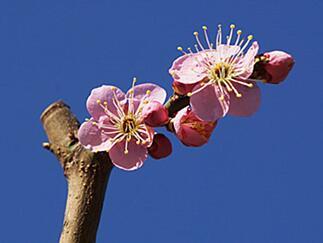 春的序曲:春梅花开