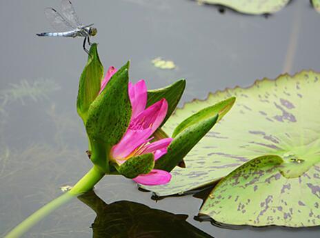 蜻蜓与莲花