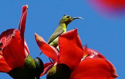 木棉花开访客多:太阳鸟