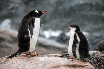 绝境逢生 南极企鹅