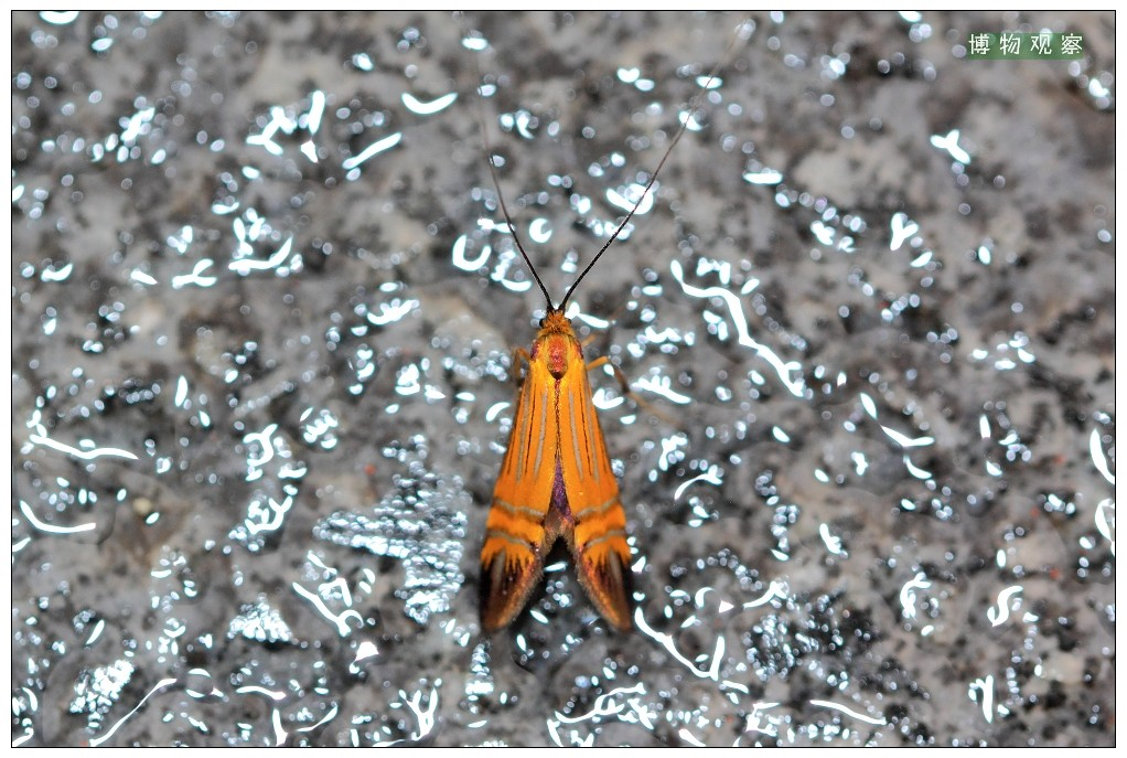 大黄长角蛾