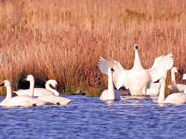 北卡白天鹅自然保护区