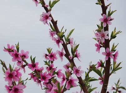 在那桃花盛開的地方
