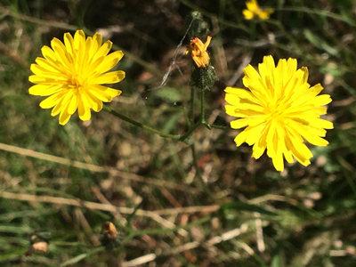 秋天的路边小黄花
