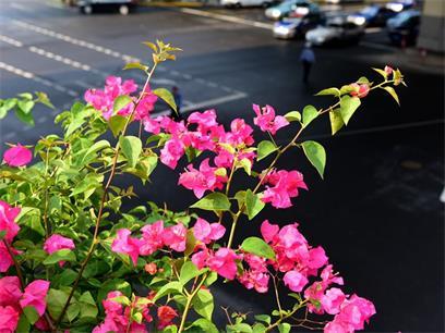 天桥上的花香:三角梅