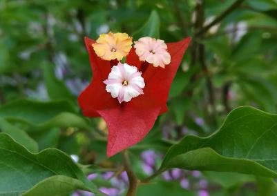 红光叶子花