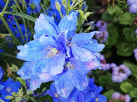 天蓝色的高翠雀花