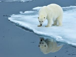 北极熊生活和北极光照片