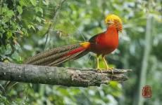 中国特有鸟种-红腹锦鸡