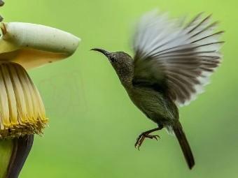 黄腰太阳鸟