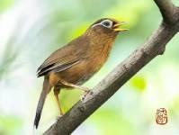 巧遇林间画眉鸟